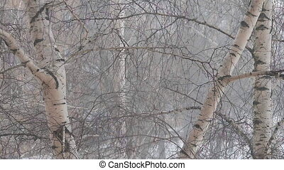 Falling snow among the birches