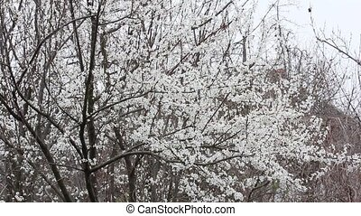 falling snow on the background of flowering fruit trees