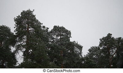 Falling snow. Pines background