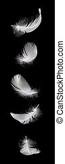 falling white swan feather isolated on the black background