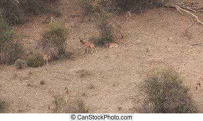 Fallow deer bellowing females