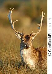 Fallow deer buck (Cervus dama), Europe