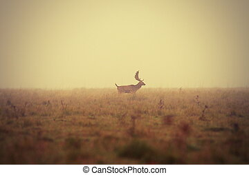 fallow deer buck in misty morning
