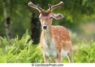 fallow deer buck in the forest
