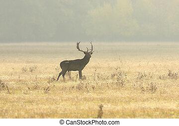 fallow deer buck walking on lawn in the morning