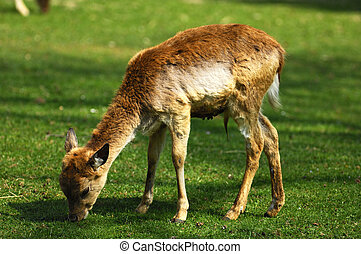Browsing Fallow Deer fawn, Dama dama