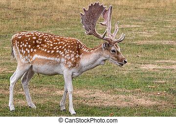 Fallow deer (Dama dama) feeding in the meadow