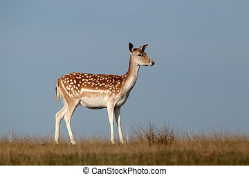 Fallow deer, Dama dama, single female on grass, Kent, September 2010
