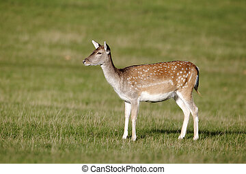 Fallow deer, Dama dama, Single female on grass, Richmond Deer Park, London, October 2010