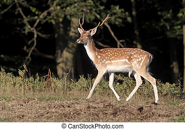 Fallow deer, Dama dama, single male on grass, Kent, September 2010