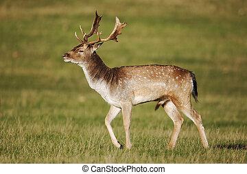 Fallow deer, Dama dama, Single male with antlers on grass, Richmond Deer Park, London, October 2010