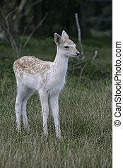 Fallow deer, Dama dama,
