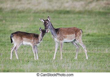 Fallow deer, Dama dama, Two females on grass, Richmond Deer Park, London, October 2010
