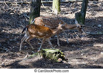 Fallow deer (Dama dama) wandering through woodland in italy