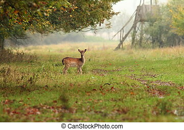 fallow deer doe in the forest