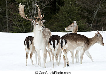 A family of fallow deer in the winter