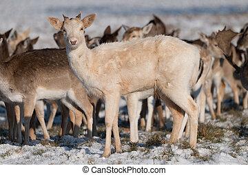 Fallow deer fawn stands in snowy grass