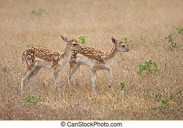 Two fallow deer fawns (Dama dama) in its natural habitat.