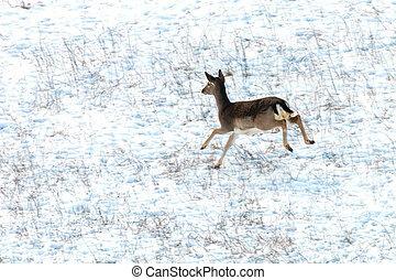 Fallow deer female snow winter (Dama Dama)
