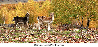 fallow deer ( dama dama ) herd in a glade at an animal park in autumn