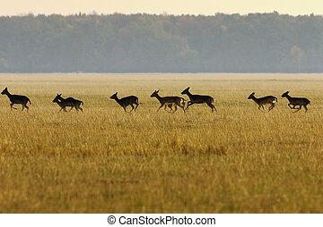 fallow deer herd running in the field