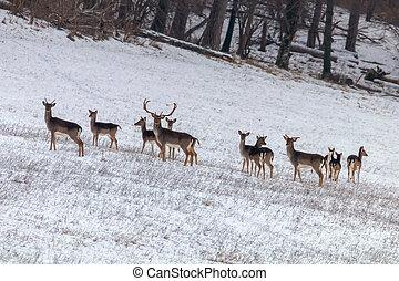 Fallow deer herd snow forest landscape (Dama Dama)
