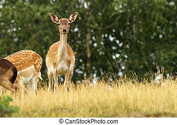 fallow deer hind looking towards the camera while standing on meadow ( Dama )
