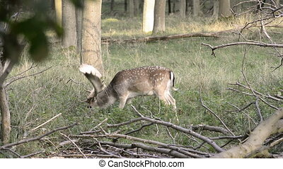 Fallow deer in a forest