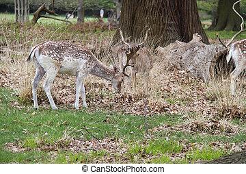 Fallow deer in a park