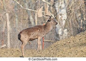 Fallow deer in the woods