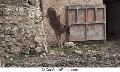 Fallow deer jumping from wall in slow-mo - Long shot of...
