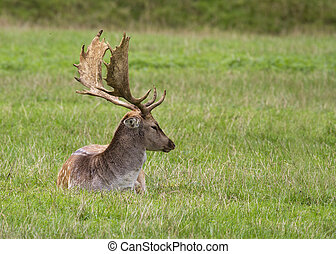 Fallow Deer laid down on the grass