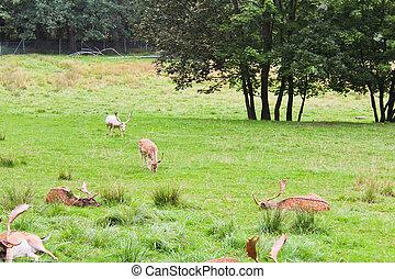 Fallow deer on meadow with trees, Czech landscape