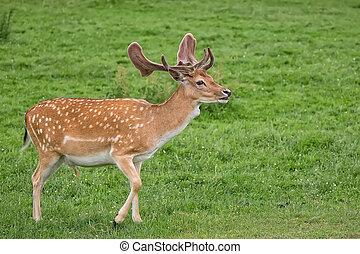 Fallow deer on the run