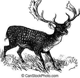 Fallow Deer or Dama dama, vintage engraving