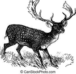 Fallow Deer or Dama dama, vintage engraving. Old engraved illustration of a Fallow Deer.
