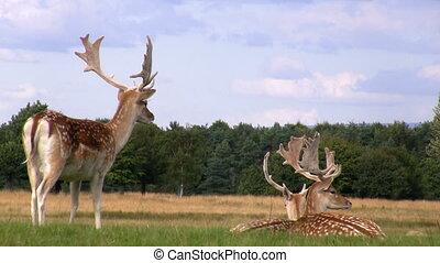 Fallow deer relaxing