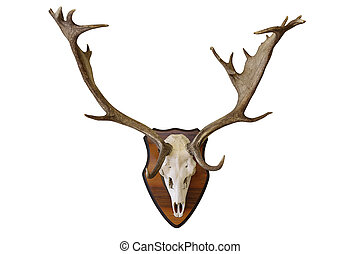 fallow deer stag hunting trophy on white