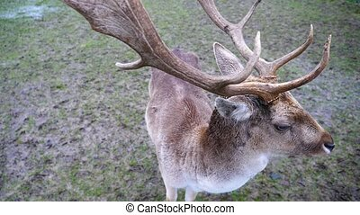 Fallow Deer Stag with Antlers - A Male Fallow Deer Stag with...