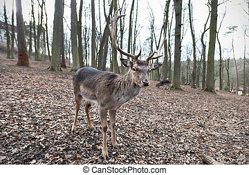 Standing fallow deer male in autumn forest