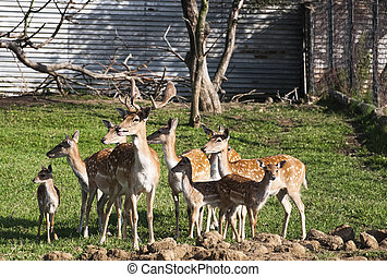 The fallow deer (dama dama) is a ruminant mammal belonging to the family cervidae. This common species is native to western Eurasia, but has been introduced widely elsewhere.