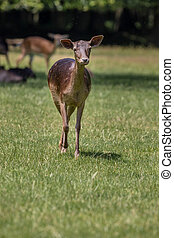 Fallow deer walks trough the grass during sunny day