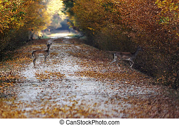 fallow deers passing road in the forest