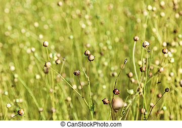 falm, blomster, i, flax