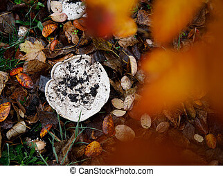 false champignon that grew in autumn among fallen leaves in the park. selective focus