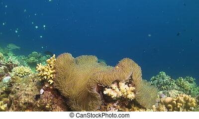 False Clown Anemonefish in a sea anemone. Some Midnight...