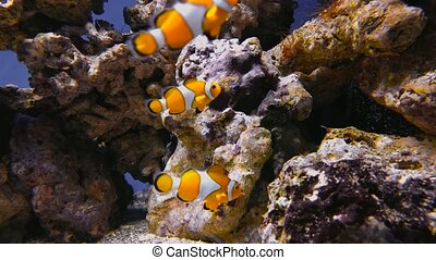 False clown anemonefish or nemo Amphiprion ocellaris - False...