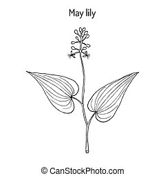 False Lily of the Valley Maianthemum bifolium , medicinal...