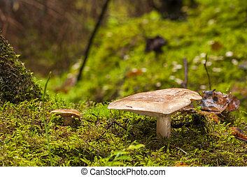 False saffron milk-cap mushroom growing in forest in autumn