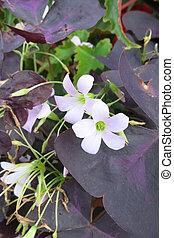 False shamrock (Oxalis triangularis) plant